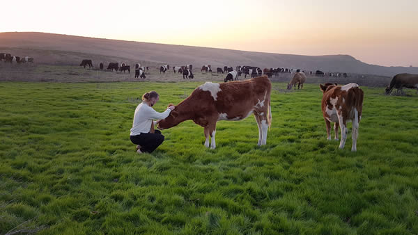 erwan-le-corre-cows